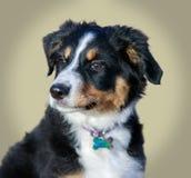 Australischer Schäfer-American Shepherd Puppy-Frau Miniaturheadshot Stockfotografie