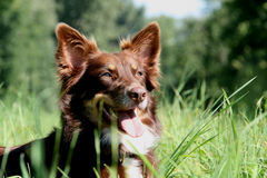 Australischer Schäferhund Lizenzfreies Stockbild