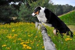 Australischer Schäferhund Stockfoto