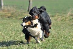 Australischer Schäferhund Lizenzfreies Stockfoto
