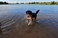 Australischer Schäferhund Lizenzfreie Stockfotos