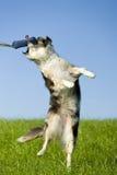 Australischer Schäferhund Stockfotos