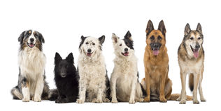 Australischer Schäferhund Lizenzfreie Stockbilder
