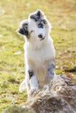Australischer Schäferhund Lizenzfreie Stockfotografie