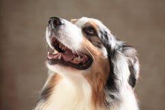 Australischer Schäferhund Stockbilder