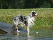 Australischer Schäferhund, der im Teich steht Lizenzfreie Stockfotos