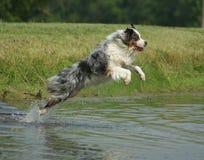 Australischer Schäferhund, der in Teich springt Lizenzfreie Stockfotos