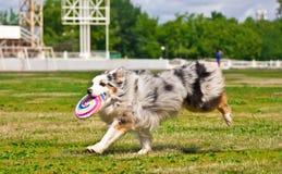 Australischer Schäferhund, der Wettbewerbe einer Frisbeediskette nachläuft Lizenzfreies Stockfoto