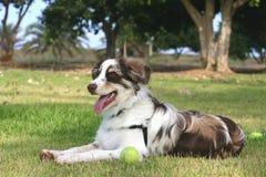 Australischer Schäferhund im Ruhezustand Stockfotos