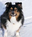 Australischer Schäferhund im Schnee Lizenzfreie Stockfotografie