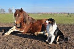 Australischer Schäferhund mit Pferd Stockfoto