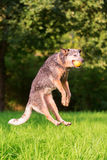 Australischer Schäferhund springt, um einen Ball zu fangen stockfotografie