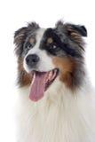 Australischer Schäferhundhund Lizenzfreie Stockfotografie