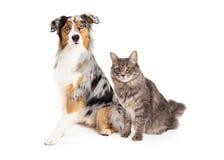 Australischer Schäfer Dog und Tabby Cat Stockfotografie