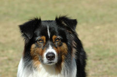 Australischer Schäferhund Stockfotografie