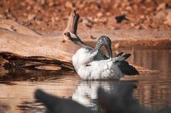 Australischer Schneesichler, der im Teich badet lizenzfreies stockfoto