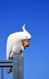 Australischer Schwefel-Kakadu mit Haube, der Frucht isst stockfotos