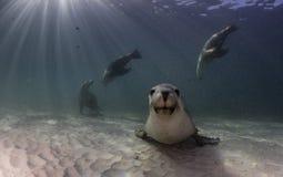 Australischer Seelöwe, der auf einer sandigen Unterseite stillsteht Die Gezeiten waren herein an diesem Tag Lizenzfreies Stockfoto