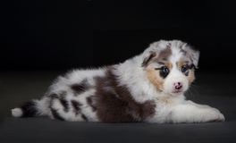 Australischer sheepherd Hund lizenzfreies stockbild