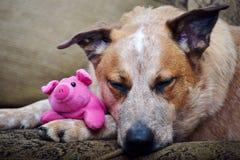 Australischer Vieh-Hund, der mit angefülltem Ferkel schläft Stockbilder