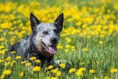 Australischer Vieh-Hund unter Löwenzahnblumen lizenzfreies stockbild