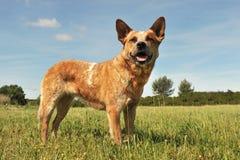 Australischer Viehhund stockfoto
