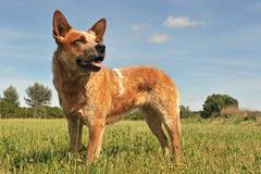 Australischer Viehhund stockbilder