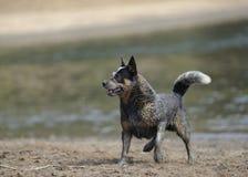 Australischer Viehhund Lizenzfreie Stockfotografie