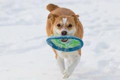 Australischer Viehhund, der Reichweite mit einer Diskette im Schnee spielt lizenzfreies stockbild