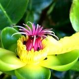 Australischer Wildflower Stockfotos