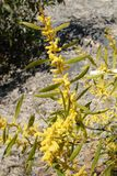 Australischer Zweig im Frühjahr mit gelber blühender Blüte auf Felsen Stockfotos