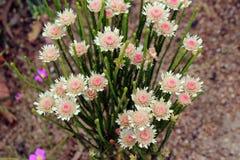 Australisches gebürtiges Wildflower-Albanien-Westgänseblümchen Lizenzfreies Stockbild