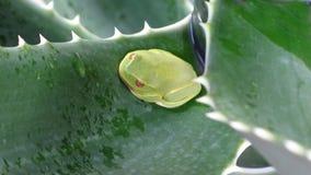 Australisches grünes Baumfrosch Litoria-caerulea, das zwischen riesiger Baumaloe stillsteht, lässt Aloidendron-barberae stockfotos