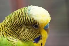 Australisches grünes Papageienmakro 3 Stockfotos