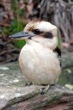Australisches Kookaburra, ein terrestrischer Eisvogel Lizenzfreie Stockfotografie