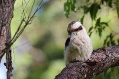 Australisches lachendes kookaburra Stockfoto