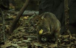 Australisches Nagetier stockbild