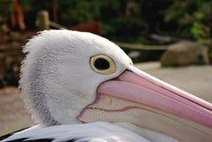 Australisches Pelikan-Profil Stockfotos