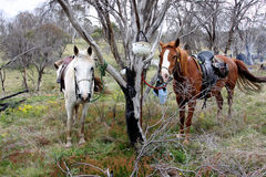 Australisches Pferd Stockfoto