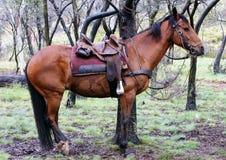 Australisches Pferd stockfotografie