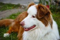 Australisches Schäferhundhundeportrait Lizenzfreie Stockfotos