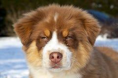 Australisches Schäferhundhundeportrait Lizenzfreies Stockfoto