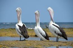 Australisches Stillstehen der weißen Pelikane auf der Küste von Australien Stockfotografie