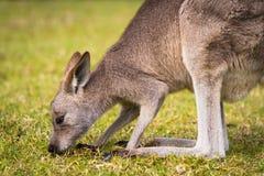 Australisches Wallaby, das auf einem Gebiet weiden lässt Stockfotografie