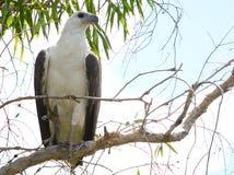 Australisches Weiß aufgeblähter Seeadler Stockbild