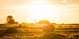 Australisches Wombat bei Sonnenuntergang stockbild