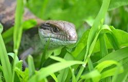 Australisk ödla för blå tunga i gräs Arkivfoto