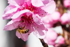 Australisk bi och blomma royaltyfria foton