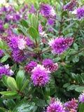 Australisk blomma i trädgården Royaltyfri Foto
