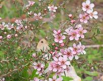 Australisk blomma och fjäril Royaltyfria Foton
